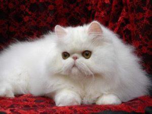 kucing-2Blucu